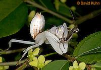 """0610-07ss  Malaysian Orchid Mantis Consuming Prey - Hymenopus coronatus """"Nymph"""" - © David Kuhn/Dwight Kuhn Photography"""