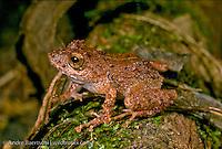 Amazonian Rain Frog (Pristimantis sp.) in lowland tropical rainforest, Tambopata National Reserve, Madre de Dios, Peru.