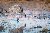 Sandhill Crane (Grus canadensis) fishing for breakfast in the soft morning light.<br />  <br /> Bosque del Apache National Wildlife Refuge, New Mexico.