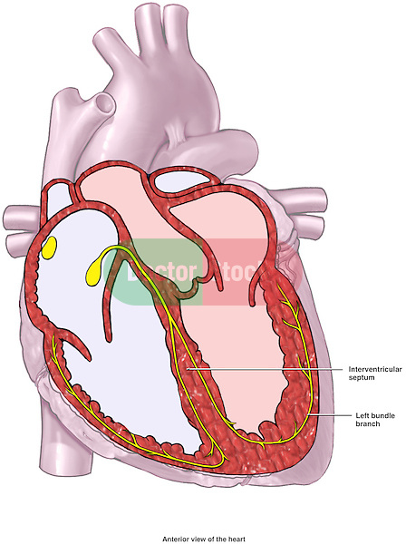 This diagram depicts a cut-away section of the heart showing the elements of the cardiac conduction system. Unlabeled.