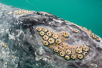 gray whale, Eschrichtius robustus, blowhole, barnacles and whale lice, Scammons Lagoon, Baja California, Mexico, Pacific Ocean