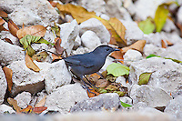 Grey Catbird, El Ceibal, Guatemala