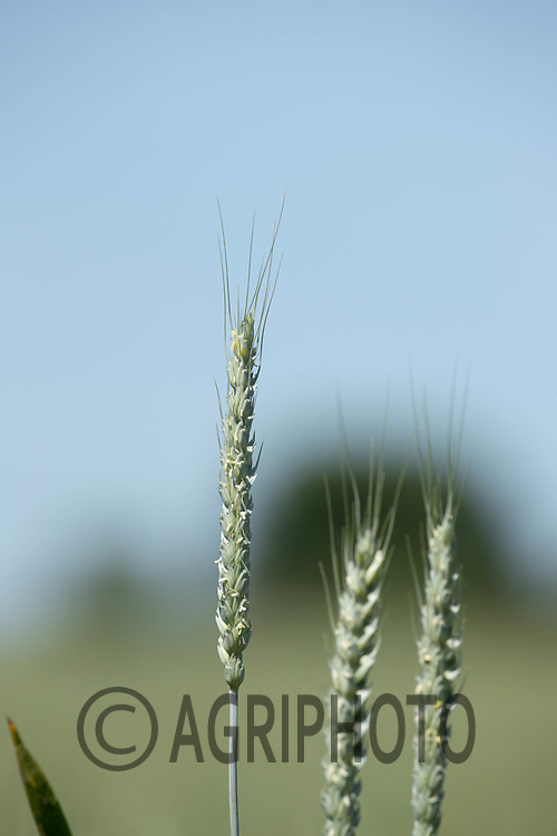 15-6-2021 Winter wheat <br /> ©Tim Scrivener Photographer 07850 303986<br />      ....Covering Agriculture In The UK....