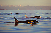 Killer whale group surfacing at sunset,Tysfjord, Arctic Norway, North Atlantic