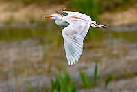 Cattle Egret in breeding colors, in flight with nesting stick