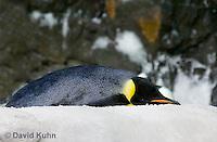 1113-1002  Sleeping Emperor Penguin, Aptenodytes forsteri  © David Kuhn/Dwight Kuhn Photography