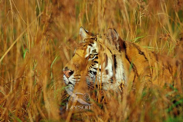 Bengal Tiger (Panthera tigris) stalking prey.