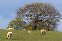 29-4-2021 Sheep grazing  <br /> ©Tim Scrivener Photographer 07850 303986<br />      ....Covering Agriculture In The UK....