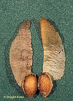 EV08-007d  White Pine - seed pair - Pinus strobus