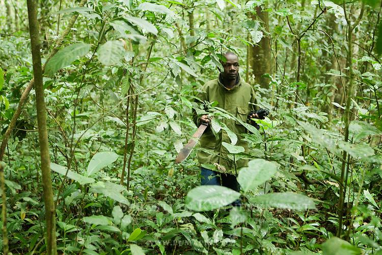 African Golden Cat (Caracal aurata aurata) researcher, Sam Isoke, walking through rainforest, Kibale National Park, western Uganda