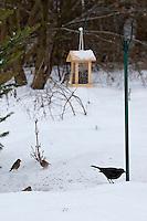 Amsel, Buchfink, Bergfink, Vögel an der Vogelfütterung, Fütterung im Winter bei Schnee, im mit Körnern gefüllten Futterhäuschen, Vogelhäuschen, Futterhaus, Vogelhaus, Winterfütterung, Futtersilo, Körner am Boden