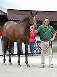 Hip #74 A.P. Indy - Coral Sea colt at the  Keeneland September Yearling Sale.  September 9, 2012.