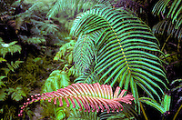 Amau ferns (Sadleria)