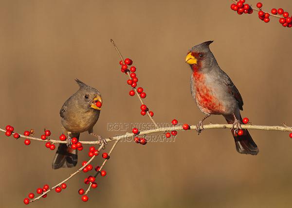 Pyrrhuloxia {Cardinalis sinuatus), pair eating berries, Starr County, Rio Grande Valley, South Texas, USA