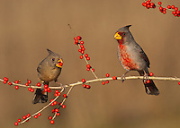 Pyrrhuloxia {Cardinalis sinuatus), pair eating berries, Starr County, Rio Grande Valley, South Texas, USA