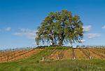 Spring in the Sierra Foothill vineyards; oaks
