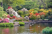 Pond and geese with bloominmg rhododendrons at Crystal Gardens. Portland