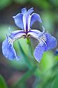 Iris setosa 'Nana', mid May. A small beardless iris with purple-blue falls and standards.