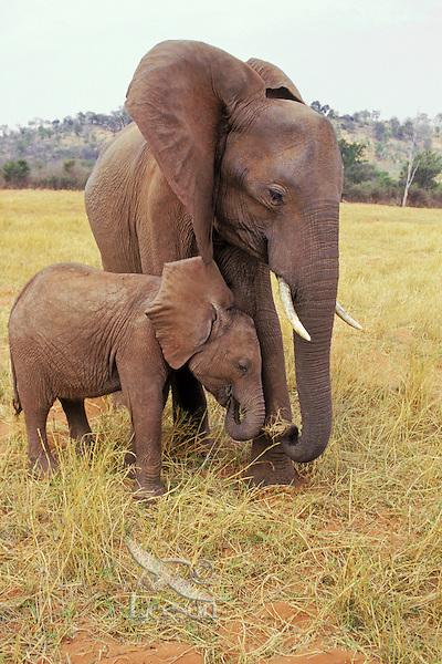 African elephant (Loxodonta africana) cow with young calf.  Matusadona National Park, Zimbabwe.
