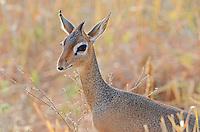 Kirk's Dik-Dik (Madoqua kirkii), Tanzania Africa. A common resident of acacia savannas in Kenya and Tanzania.