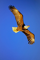 Bald Eagle flying--wings are picking up color from late evening sun.  Pacific Northwest.  Summer.  (Haliaeetus leucocephalus)