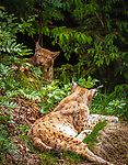 Deutschland, Bayern, Niederbayern, Nationalpark Bayerischer Wald, Neuschoenau: zwei Luchse (Lynx) im Freigehege des Nationalparks | Germany, Bavaria, Lower-Bavaria, National Park Bavarian Forest, Neuschoenau: two Lynxes at the national park's outdoor enclosure