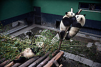 A captive panda (left) and her two young cubs eat and play in their enclosure at the Hetaoping Panda Conservation Centre.
