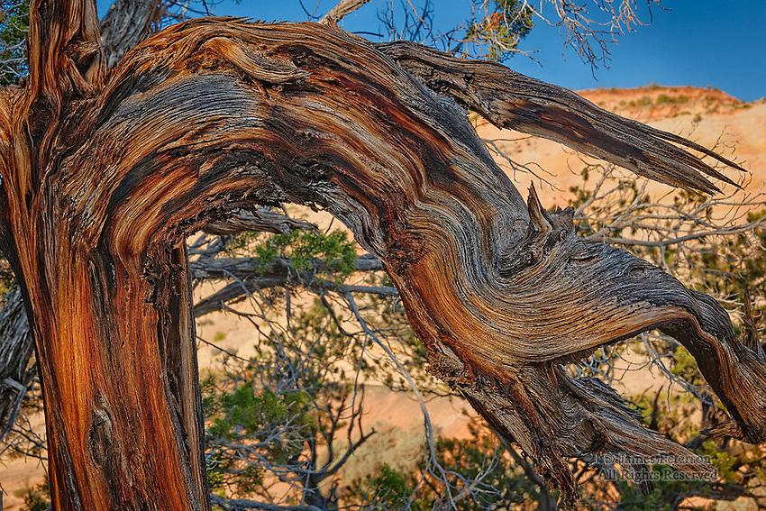 Juniper near Escalante, Utah