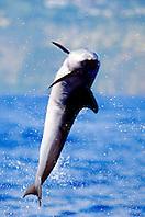pantropical spotted dolphin calf, .Stenella attenuata, leaping, .Big Island, Hawaii (Pacific).