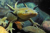 Blotched Tiger Salamander - larval stage..Pacific Coast, North America..(Ambystoma tigrinum melanostictum).