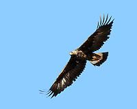 Golden Eagle in flight along the roadside, New Mexico