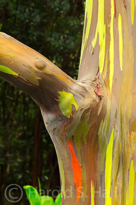 The bark of the rainbow eucalyptus tree peels off to reveal differing colors of the tree.  Recently peeled bark will be bright green, older sections will be red and the oldest blue.