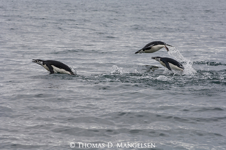 Chinstrap penguins leap above the waves as they swim in the ocean off Deception Island in South Georgia.