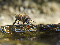 At the water point honey bees drink.