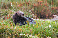 A female sea otter (Enhydra lutris nereis) hauled out to rest in the pickleweed, Moss Landing in the Monterey Bay National Marine Sanctuary.