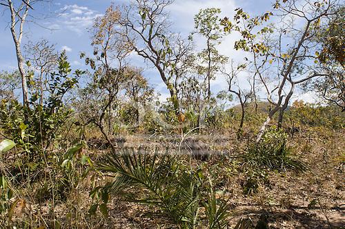 Typical vegetation in cerrados forest, Mato Grosso State, Brazil.