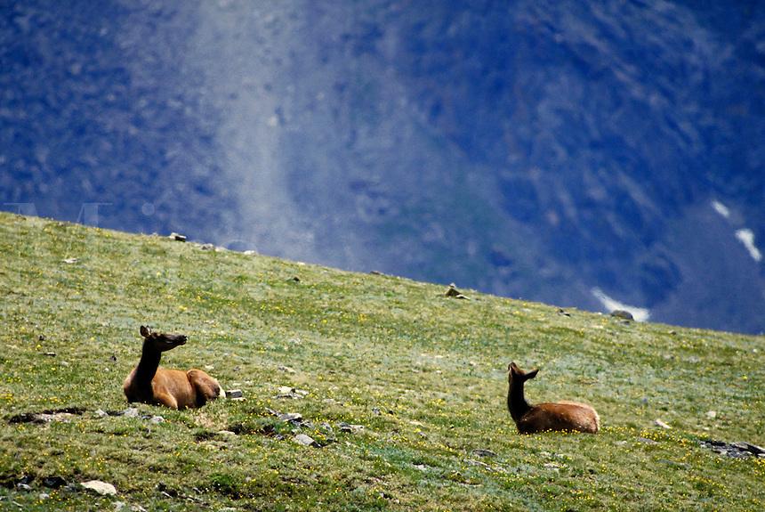 Two elk cows lying on ridge. Colorado USA Trail Ridge, Rocky Mountain National Park.