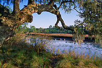 Live oak and snowy egrets<br /> Halstead Bayou<br /> Gulf Islands National Seashore<br /> Mississippi