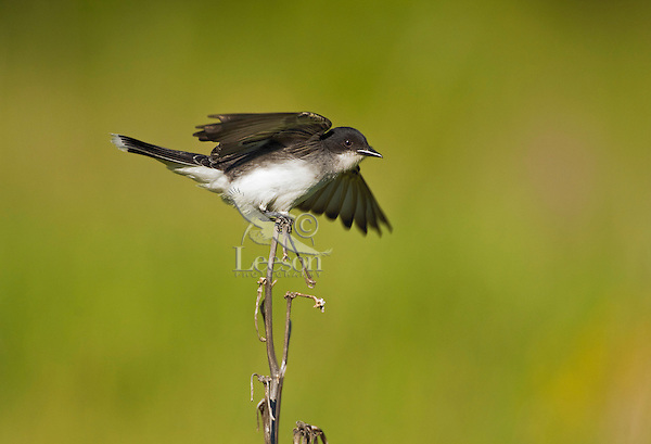 Eastern Kingbird (Tyrannus tyrannus)  common in woodland clearings, farms, & orchards. Lake Ontario. Ontario. Canada. Spring.
