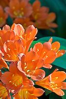 Clivia miniata Belgian Orange Hybrid with headroom for text