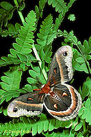 LE01-020x  Cecropia Moth - adult male - Hyalophora cecropia