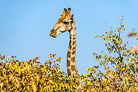 Giraffe (Giraffa camelopardalis) looking over bushes, Etosha National Park, Namibia, Africa