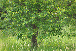 Chokecherry growing in northern Wisconsin.