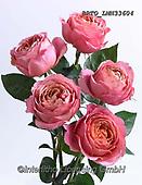 Alfredo, FLOWERS, BLUMEN, FLORES, photos+++++,BRTOLMN33604,#f#, EVERYDAY