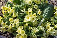 Schlüsselblumen-Blüten, Schlüsselblumenblüten, Blüten von Schlüsselblume, Ernte, Kräuterernte, sammeln. Hohe Schlüsselblume, Wald-Schlüsselblume, Waldschlüsselblume, Primel, Primula elatior, Oxlip, true oxlip, Paigles, La Primevère élevée, Primevère des bois