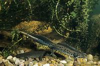 Kammmolch, Kammolch, Kamm-Molch, Männchen und Weibchen, Paar, Pärchen, Molch, Molche, Triturus cristatus, warty newt, European crested newt