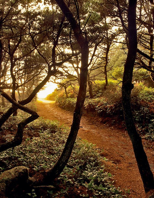 Shore Pine trees and path at Seal Rock, Oregon