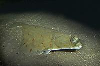 Scholle, Goldbutt, Pleuronectes platessa, Plaice, Plie d'Europe, Plattfisch,