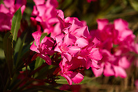 Crimson Nerium oleander flowers, Ios Island, Greece