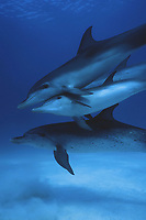 Atlantic spotted dolphins, Stenella frontalis, Bahamas ( Atlantic Ocean )